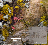 Illosporiopsis christiansenii plus conidiospores with Xanthoria parietina RR ANR Mar-15 s.jpg