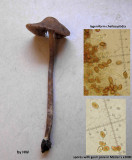 Psilocybe medullosa in needle litter & sandy soil Sherwood Pines Notts 14 Nov 2014 HW s.jpg