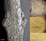 Botryosphaeria stevensii - diplodia stage on ash twig Hodsock Feb-15 HW s.jpg