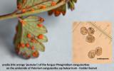 Phragmidium sanguisorbae on Fodder Burnet.jpg