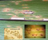 Puccinia iridis on Stinking Iris Carlton Lake fishing carpark C-in-L Apr-15 HWs.jpg
