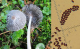 Parasola hemerobia C-in-L churchyard Notts 2015-12-7.jpg