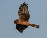 Busard Saint-Martin / Northern Harrier