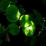 Hazel leaves, dappled by the sun