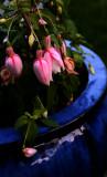 Fuchsia in the blue pot
