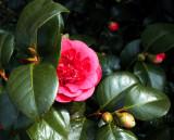 Shy Camellia