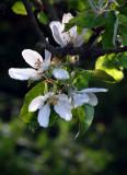 Apple Blossom 2015