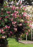 Honeysuckle - heavy with blooms