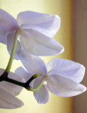 White Orchid with side-lighting