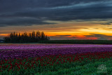 tulip_festival_for_sale