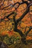 Vertical Japanesa Maple.jpg