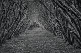 Hazelnut tree alley