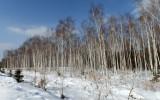 the_birch_trees_snow_winter