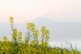 Jiangling Canola flower-DSC_0454.jpg