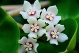 Sampaguita bloom