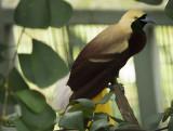 Lesser Bird Of Paradise (1).jpg