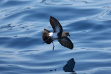 Black-bellied_Storm-Petrel 4772.jpg