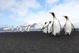 King Penguin - Heard Island _9956b.jpg