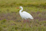 Intermediate Egret_7760bs.jpg
