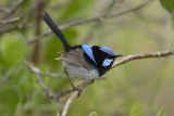 Superb_Fairywren_7753b.jpg