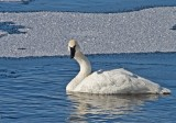 Swan on the St. Crouix 2