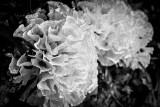 Fungal Frills.jpg