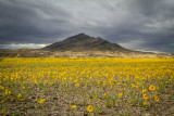 Wildflowers of the Mojave Desert
