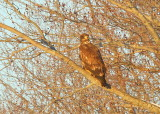 Bald Eagle, first year juvenile