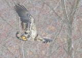 Bald Eagle, subadult, II (orange left leg band!)