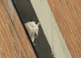 Peregrine Falcon, perched south side of tower