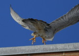 Peregrine Falcon, female taking off (no leg bands)
