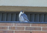 Peregrine Falcon, male somewhat indifferent!
