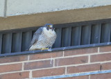 Peregrine Falcon, female calling the male