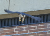 Peregrine Falcon, female taking off