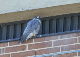 Peregrine Falcon, female calling male again