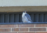 Peregrine Falcon, male waiting quietly