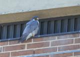 Peregrine Falcon, female continues calling