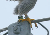 Peregrine Falcon, male: leg band 6/4