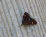 Muntvlinder - Mint Moth