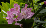 _6050038 Translucent  Rhododendron