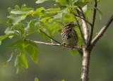 _1080881 Song Sparrow at Beaver Lake