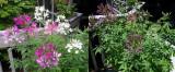 Fascinating Cleome Blossom Behavior