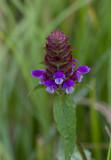 Blue Ridge Parkway Wildflowers