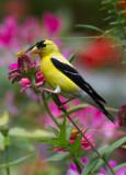 _MG_8675 american goldfinch on Zinnia