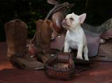 _MG_8825 Nine Week Old French Bulldog Puppy