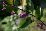 _1100403 Beautyberry Bush