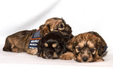 Four Week Old Dandie Dinmont Puppies