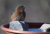 _MG_9847 Mrs Bluebird is cold
