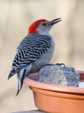 _MG_9898 Red Bellied Woodpecker