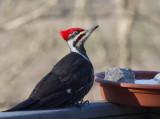 _MG_9887 Male Pileated Woodpecker on Guard